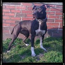 american pitbull terrier hoobly quality american pit bull terriers for sale in hoobly classifieds