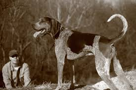 bluetick coonhound exercise the bluetick coonhound will howl its way into your heart vetiq