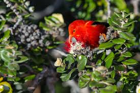 native hawaiian plants list hawaii counts meet 10 island birds now eligible for your life