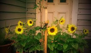 dwarf sunflower seeds sunspot organic seed 50 pk produced on