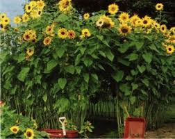 Savvy Housekeeping » Grow A Sunflower House