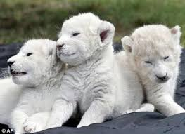 lions for sale white cubs for sale 2 48am everything kuwait