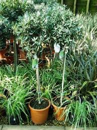 olive trees for sale uk paramount plants and gardens