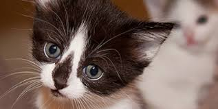 expect kitten development stages petful