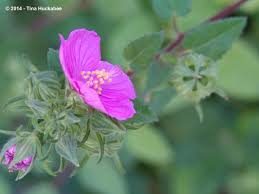 native plants natural areas notebook native texas plant week my gardener says u2026