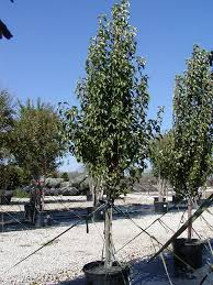 30 best deciduous trees shrubs images on deciduous