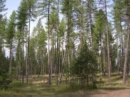 Montana forest images Forest management by best arborists trees for life montana jpg