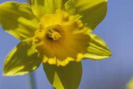 can you dig up and replant daffodils every year home guides
