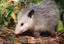 Possum In My Backyard Possum In Toronto