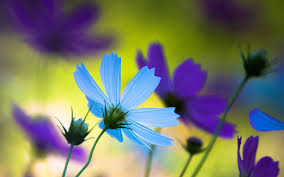 blue and purple flowers purple blue flowers 7010772
