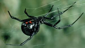 Black Widow Spiders Had A - black widow spiders in chandler gilbert separating myths from