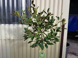 michelia gracipes for sale national shipping designer plants