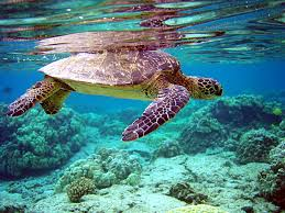 green sea turtle wikipedia