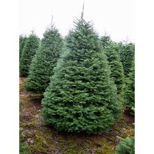 douglas fir tree noble fir tree rudys christmas trees