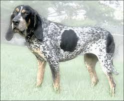 bluetick coonhound dog bluetick coonhound animals dogs b bluetick coonhound png html