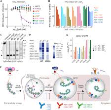 Ft Detrick Map Antibodies From A Human Survivor Define Sites Of Vulnerability For