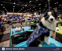 australian shepherd kennel club orlando florida usa 11th dec 2013 atasi an australian