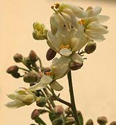 Edible Flowers Edible Flower Wikipedia