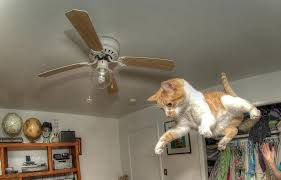 cat ceiling fan pulls cat on cieling fan the wonder cat descends toward by cat ceiling fan