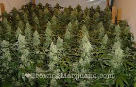 Weed Or Flower Pictures - the life cycle of marijuana plants