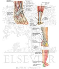 Foot Anatomy Nerves Of The Foot And Ankle
