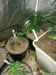 Tangies Kitchen Icemud Led Grow Featuring The All New Budmaster Cob Technology
