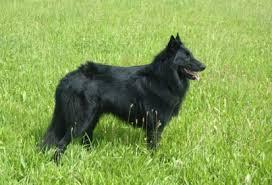 belgian sheepdog poodle mix belgian sheepdog jpg