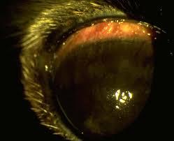 bichon frise intelligence keratoconjunctivitis sicca bichon frise male 3 years from