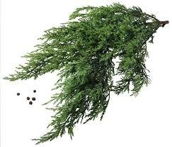 cedar tree adaptations hunker