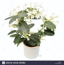 stephanotis flower madagascar stephanotis wax flower stephanotis