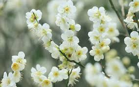 white cherry blossom white cherry blossom wallpaper flower wallpapers 46690