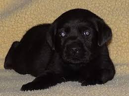 labrador retriever breeder labrador puppies boerne tx