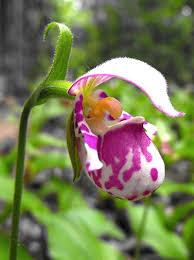 Pink Lady Slipper Flower - cypripedium species offered