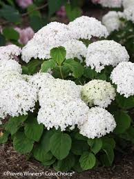 white hydrangea hydrangea wee white bluestone perennials