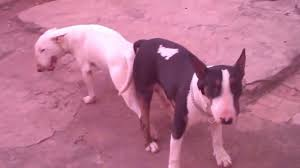 cruza dos bull terrier youtube