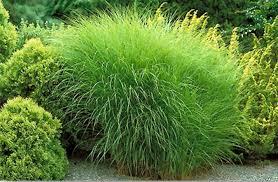 ornamental grasses timberpine unplugged