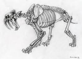 life drawing sabertooth skeleton jpg 1455 1053 year 9 exam