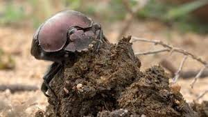 but true these beetles roll around big balls of