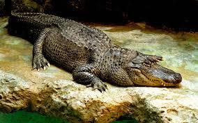 7 crocodilian species that are dangerous to humans britannica com