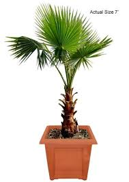 mexican fan palm growth rate mexican fan palm tree washington palm washingtonia robusta