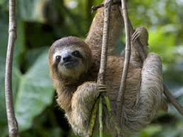 4 toed sloth 07 october 2015 ecoexciting