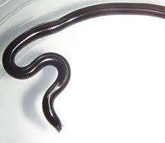 Madagascar Blind Snake Typhlops Wikiwand