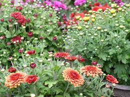 dahlias how to plant grow and care for dahlia flowers the old