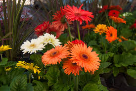 gerber daisy patrissi nursery