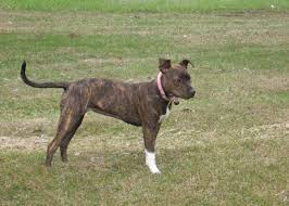 jack russell american pitbull terrier mix brindle bully pit images reverse search