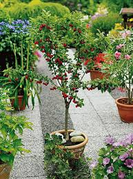 Flower Boxes That Thrive In by Best Fruits To Grow In Pots Fruits For Containers Balcony