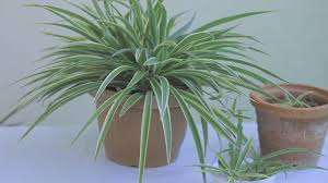 Spider Plant Growing Spider Plants How To Take Care Of Spider Plants In Easy