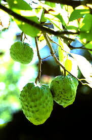 forum tropical fruit trees successfuly grown in sydney wollongong
