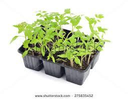 Vegetative Propagation By Roots - vegetative propagation stock images royalty free images u0026 vectors