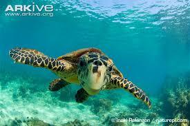 hawksbill turtle videos photos facts eretmochelys imbricata
